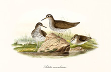 Three Spotted Sandpiper (Actit...