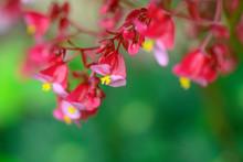 Begonia X Hybrida ( Dragon Win...