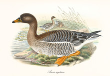 Bean Goose (Anser Fabalis) Birds With Its Multicolored Brown Tones Plumage Displayed In Profile View, Crouched In The Aquatic Vegetation. Detailed Vintage Style Art By John Gould, London 1862 - 1873