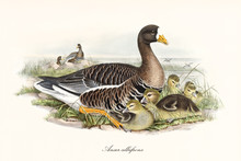 Greater White-fronted Goose (Anser Albifrons) Bird With Its Multicolored Brown Tones Plumage And White Belly Zone Crouched In The Vegetation With Its Children. Art By John Gould, London 1862 - 1873