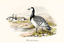 Barnacle Goose (Branta Leucopsis) Bird With Its Multicolored Black And White Tones Plumage Standing On A Pond Shore. Detailed Vintage Watercolor Style Art By John Gould Publ. In London 1862 - 1873