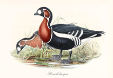 Red-Breasted Goose (Branta Ruficollis) Bird Profile Posing With Its Black And White Plumage, Red Neck And Webbed Feet. Detailed Vintage Watercolor Style Art By John Gould Publ. In London 1862 - 1873