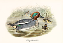 Eurasian Teal (Anas Crecca) Bird With Its Multicolored Grey Tone Plumage In The Body, Red And Green In The Head. It Swims In The Water Of A Pond With Its Children. By John Gould In London 1862 - 1873