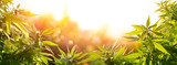Cannabis With Flowers At Sunset - Sativa Herb - Legal Marijuana