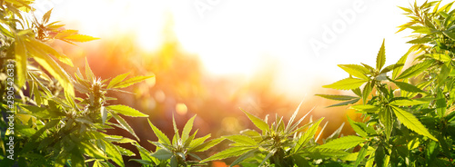 Foto auf AluDibond Sonnenuntergang Cannabis With Flowers At Sunset - Sativa Herb - Legal Marijuana