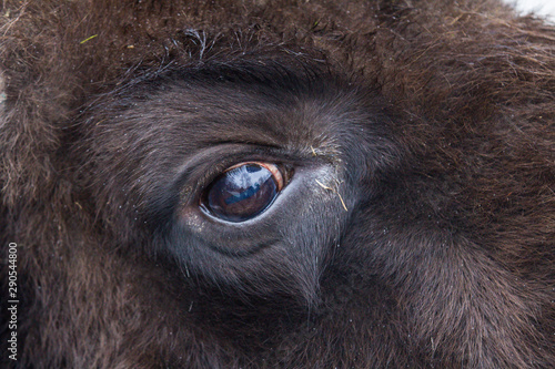 Fényképezés  Closeup eye of large brown wisent in the winter forest