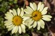 canvas print picture - Zwei freigestellte Blüten der Färberkamille mit einem Käfer in der Draufsicht
