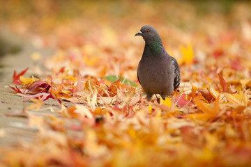 Un pigeon sur un tapis de feuille morte en automne