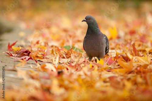 fototapeta na szkło Un pigeon sur un tapis de feuille morte en automne