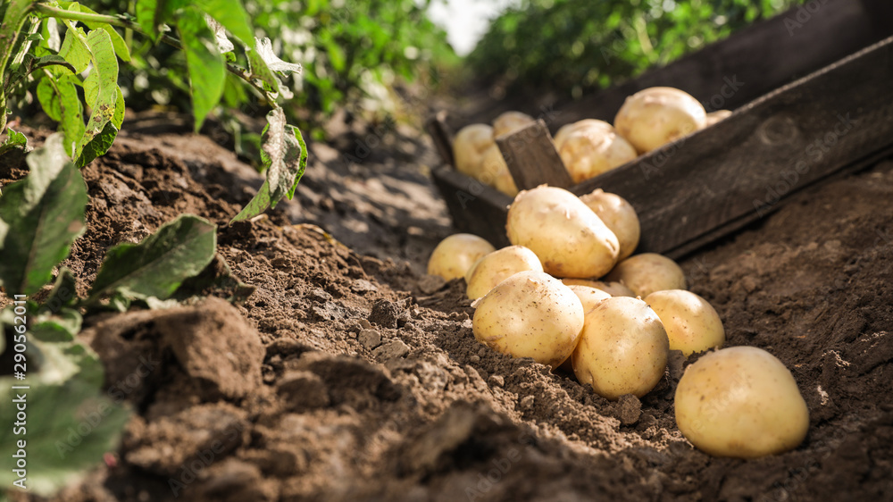Fototapety, obrazy: Pile of ripe potatoes on ground in field