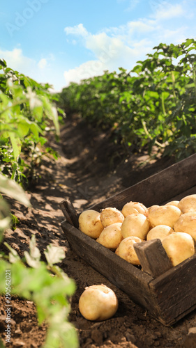 Fototapeta Wooden crate with raw potatoes in field obraz