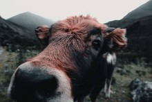 A Brown Cow's Nose Sniffing The Camera.