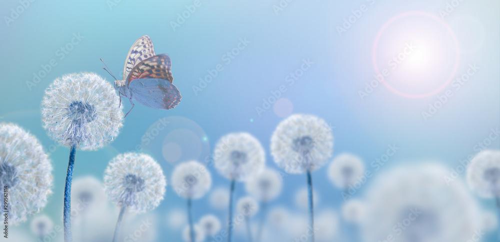 Fototapety, obrazy: white dandelions on blue background