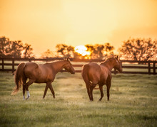 Thoroughbred Horse Mares In Pa...