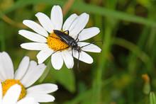 Musk Beetle / Moschusbock (Aromia Moschata), Greece / Griechenland