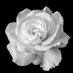 Fototapetawhite rose blossom monochrome macro on black background, a fine art still life bright close-up of a single isolated bloom in vintage painting style