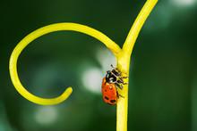 Ladybug On Grape Tendril