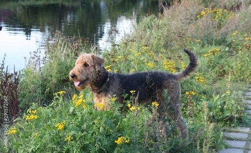 Photo airdale terrier