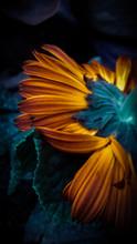 The Underside Of An Orange Long Pedalled Flower.