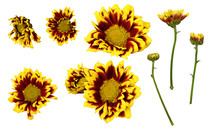 Set Of Yellow And Red Chrysant...