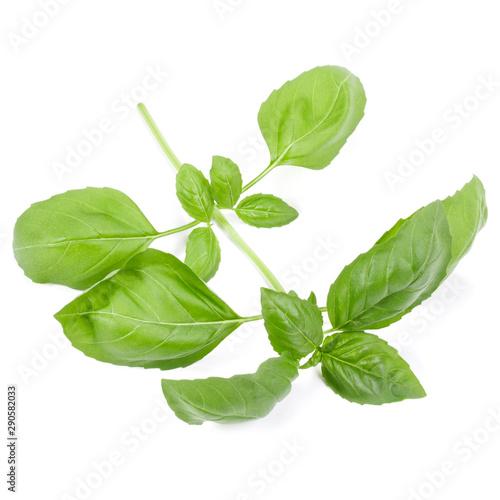 Obraz na plátně  sweet basil herb leaves isolated on white background