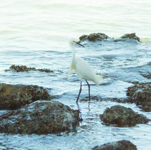 Egret By The Sea