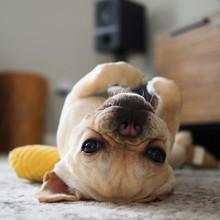 Puppy Of French Bulldog Lying ...