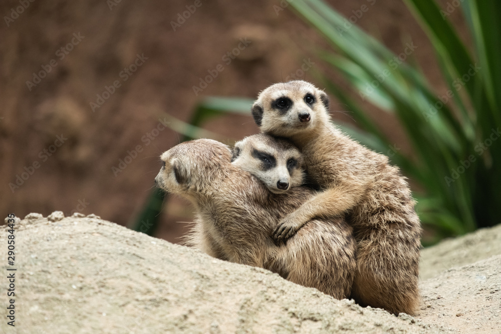 Fototapety, obrazy: Meerkat's behavior