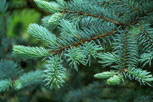 Young Blue Spruce Picea Pungen...