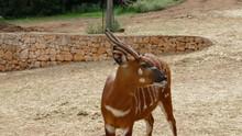 Bongo. Antilope Rara Africana