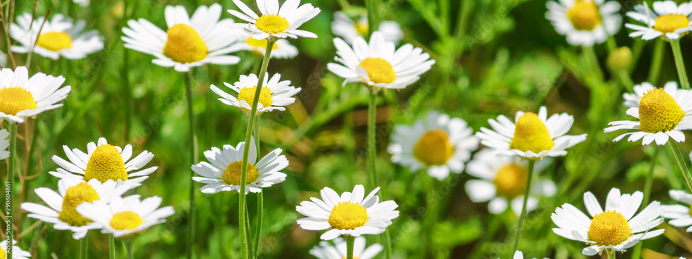 Fototapety, obrazy: Сhamomile (Matricaria recutita), blooming plants in the spring meadow on a sunny day, closeup