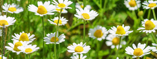 Tuinposter Madeliefjes Сhamomile (Matricaria recutita), blooming plants in the spring meadow on a sunny day, closeup
