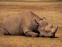 Black Rhinoceros Resting In An Captive Breeding Enclosure