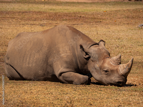 Obraz na plátne Black Rhinoceros resting in an captive breeding enclosure