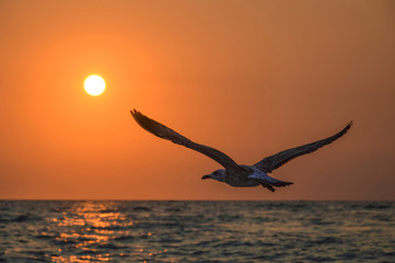Fototapetaflying bird seagull in the sky sea sunset