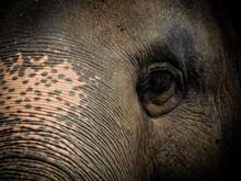 Closeup Old Elephant In Thailand Sanctuary