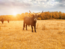 Ankole Watusi Cow, Known For I...