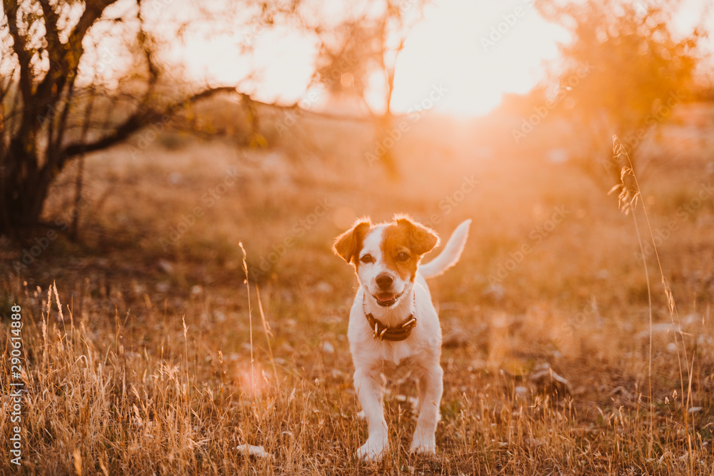 Fototapety, obrazy: cute small jack russell terrier dog at sunset in a field. Golden hour. Pets and fun outdoors
