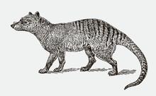 Extinct Thylacine Or Tasmanian...