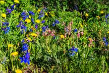 Pink And Yellow Blue Geum Triflorum Prairie Smoke Flowers On Thomas Lakes Hike In Mt Sopris, Colorado In Meadow