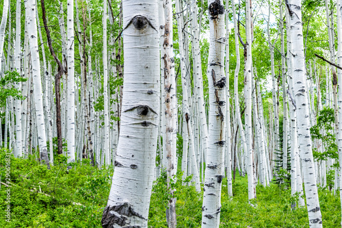 Papiers peints Bosquet de bouleaux Aspen forest trees in summer on Kebler Pass in Colorado in National Forest park mountains with lush green color