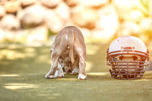 American Football Concept. A Dog With A Uniform Of An American Football Player Posing For The Camera In A Park. Patriotism Of The National Game, Copy Space, Advertising Banner.