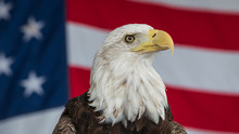 Bald Eagle With The American Flag