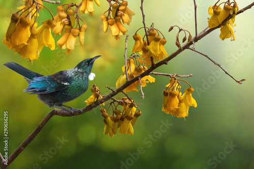 Photographie Tui bird kowhai tree flowers New Zealand native