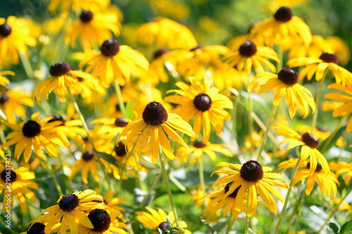 BLack eyed susan flowers Canvas-taulu