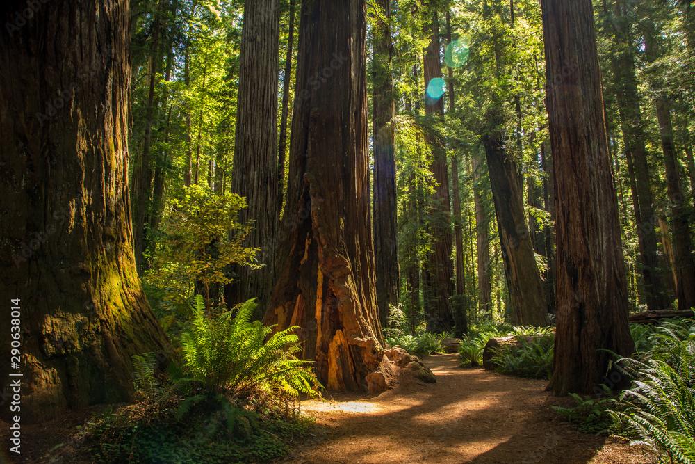 Fototapety, obrazy: Redwood National Park
