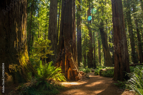 Photo sur Toile Marron chocolat Redwood National Park