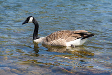 Canada Goose Swimming In Clear Water Alone.