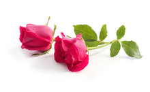 Pink Roses On Isolated  White Background