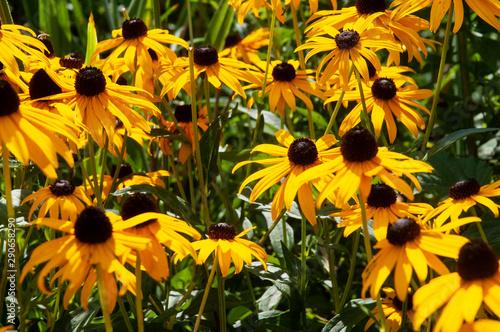 flowerbed with black-eyed susans in summer garden Canvas-taulu